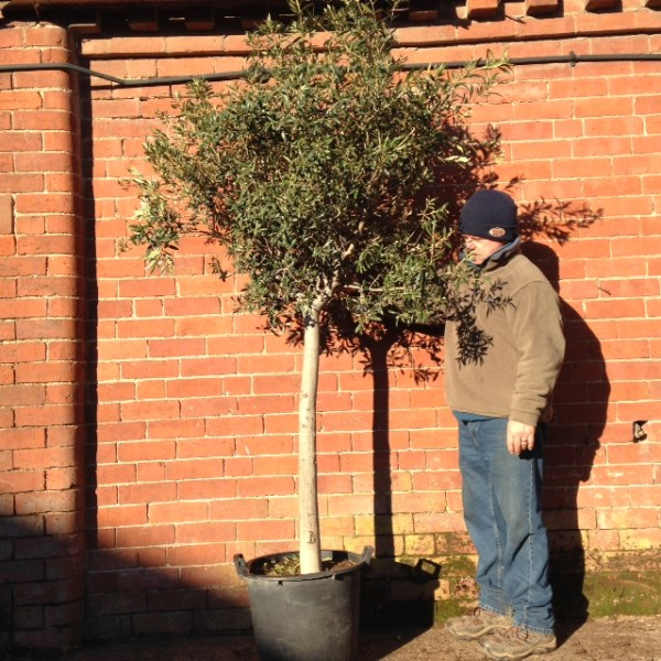 20-25 Olive Trees (generic picture please ask if you are looking for a similar tree)