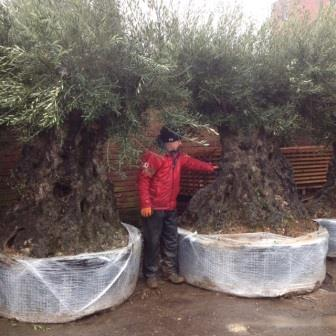 Ancient Specimen Olive Trees **Please contact us if this is what you are looking for**