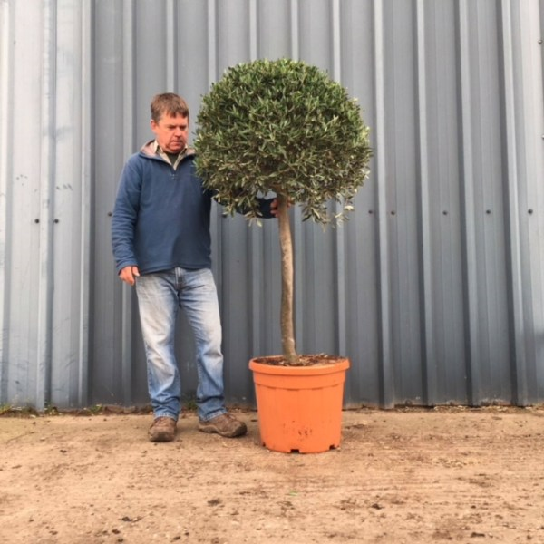Formal Mature Clipped Olive Tree *** PLEASE AK IF YOU ARE LOOK FOR A TREE LIKE THIS***