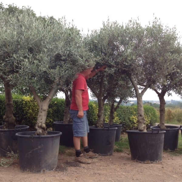 Mature Character Olive Trees****We always have similar trees in stock please call or email us**