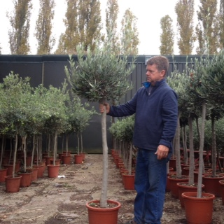 Standard Clipped Olive Trees (generic picture)