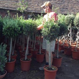 Clipped Olive Trees (generic picture)