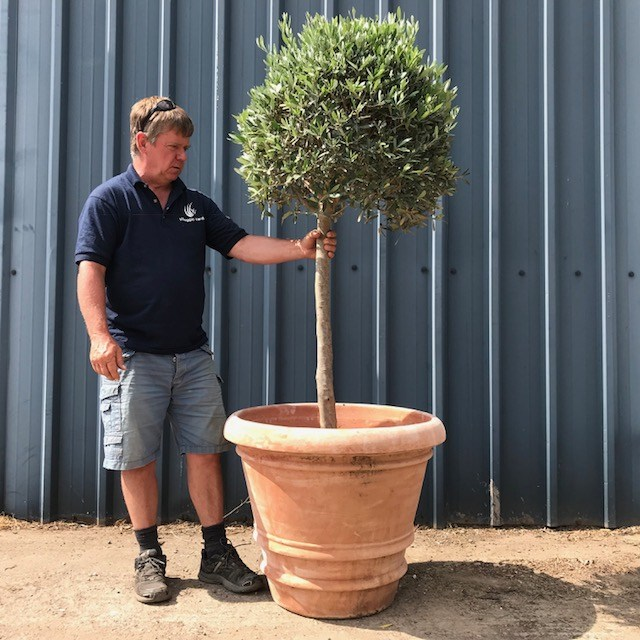 83cm Terracotta Pot (tree not included)