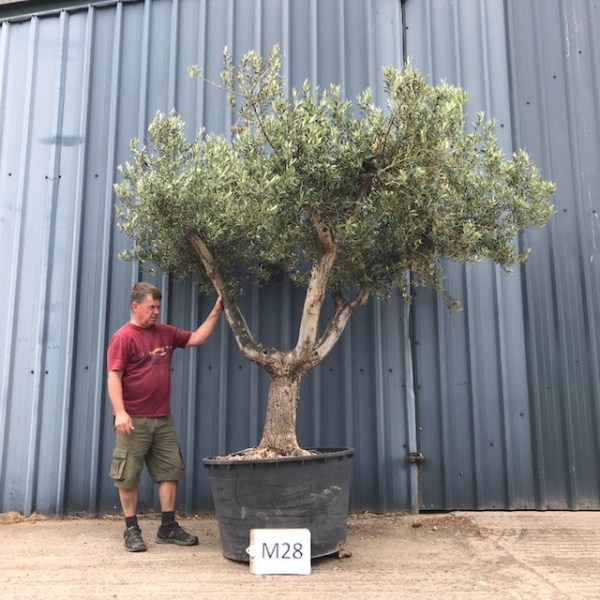 M28 Old Tuscan Form Olive Tree