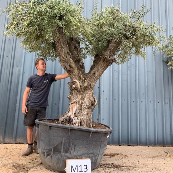 Olive Tree M1