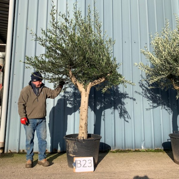 Olive Tree B23
