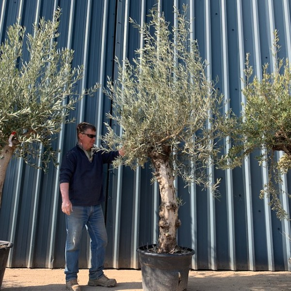 Olive Tree D29