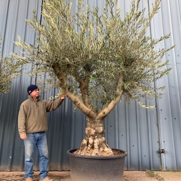 Olive Tree L134