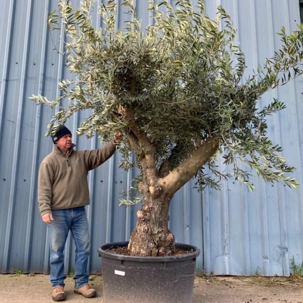 Olive Tree L129