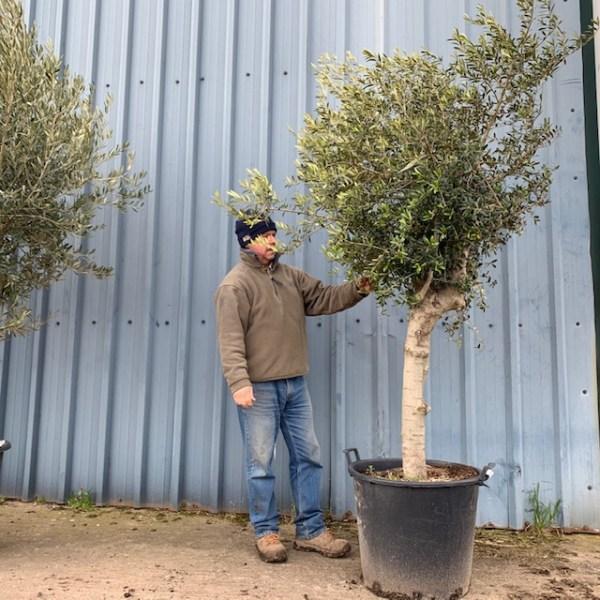 Olive Tree V80