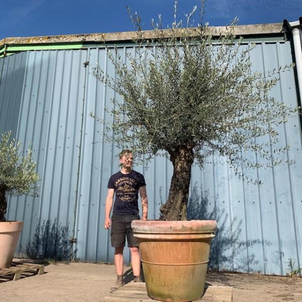 Olive Tree Specimen L307