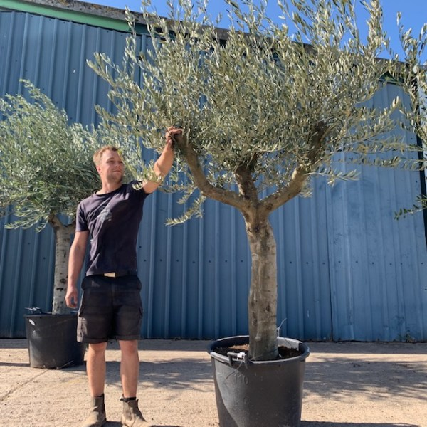 Mature Olive Specimen L347