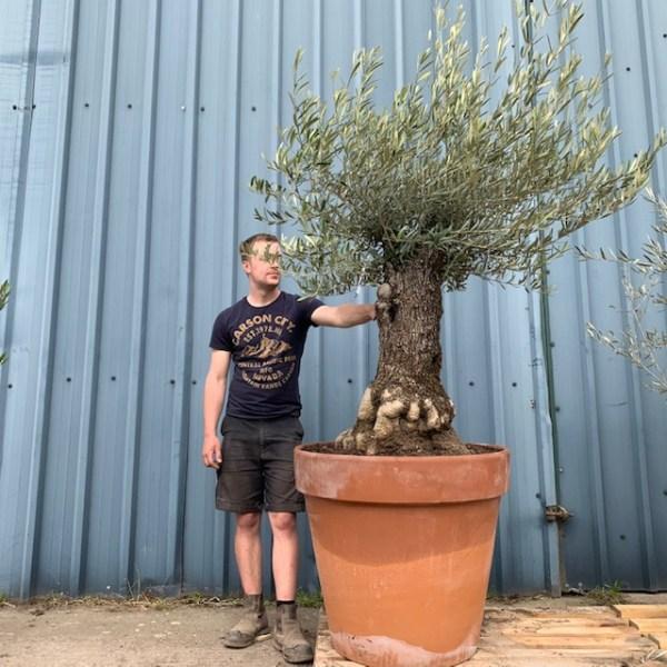 Olive Tree Specimen L73
