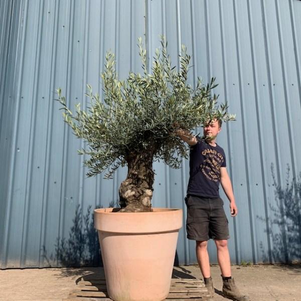 Olive Tree Specimen L77