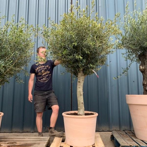 Olive Tree Specimen V13