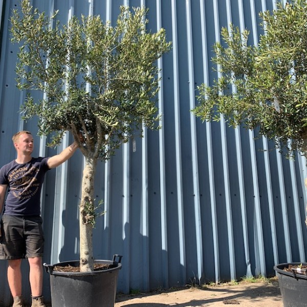 Olive Tree Specimen V166