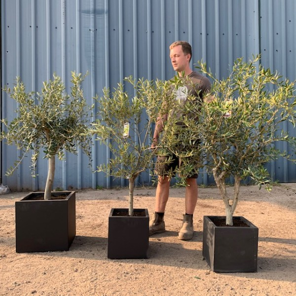 Olive Tree Patio Collection V193
