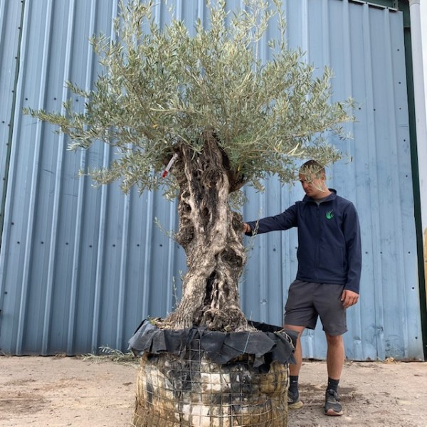 Olive Tree Specimen D8