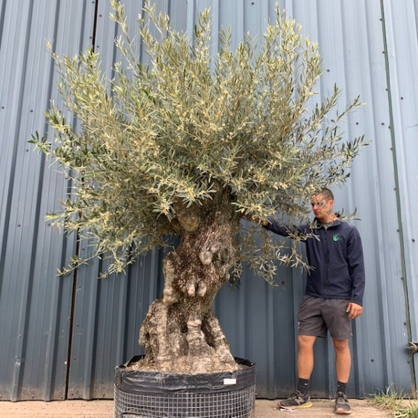 Pair of Olive Trees Potted in Tuscan Terracotta G