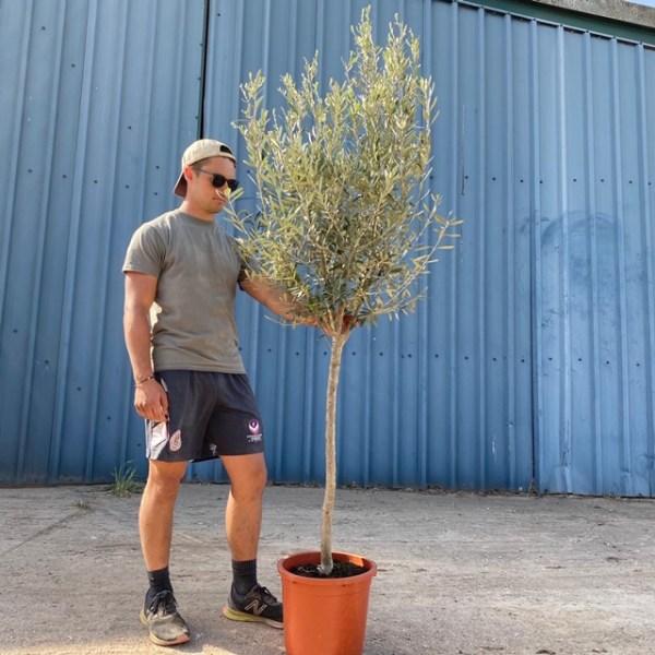 Olive Tree Lisbon