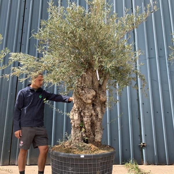 Olive Tree Specimen D2