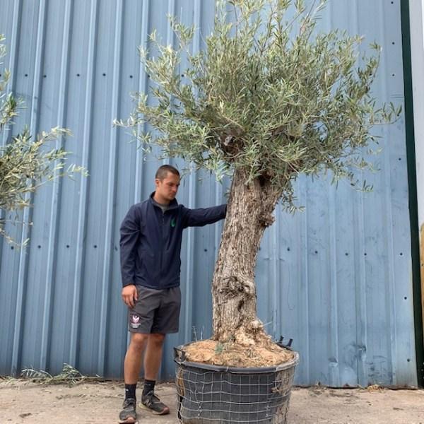 Olive Tree Specimen D50