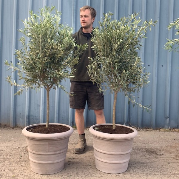 Olive Tree Potted in Tuscan Terracotta G