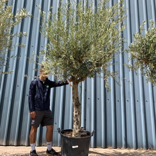 Olive Tree Specimen L1049