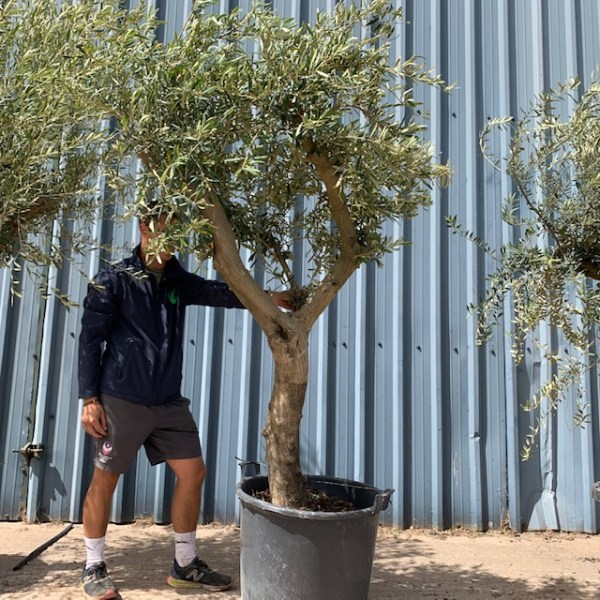 Olive Tree Collection L1062