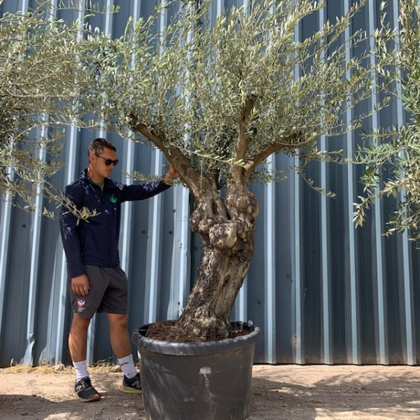 Olive Tree Collection V18