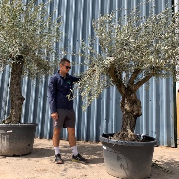 Olive Tree Specimen L22