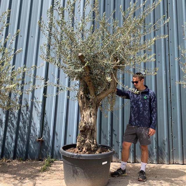 Olive Tree Specimen L23