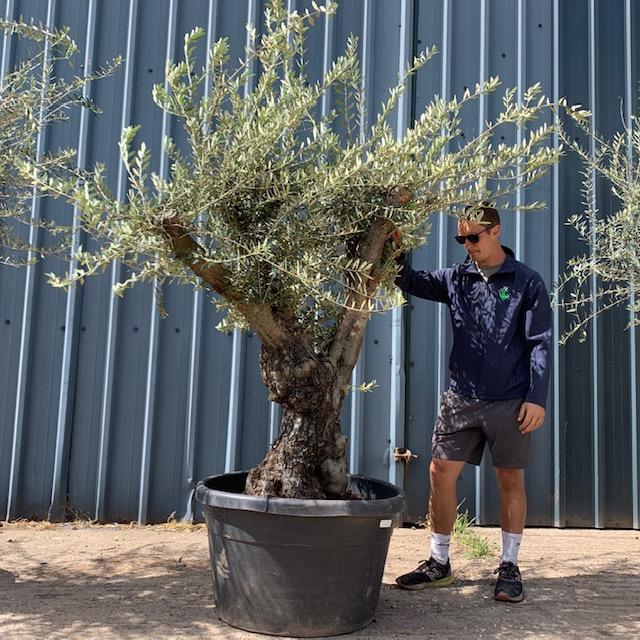 Olive Tree Specimen L296