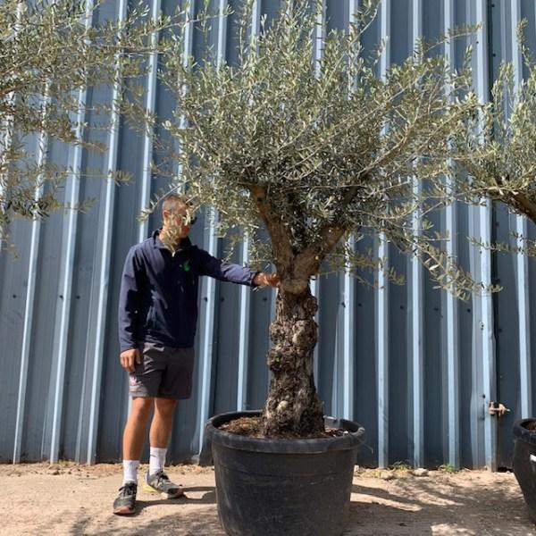 Olive Tree Specimen L30