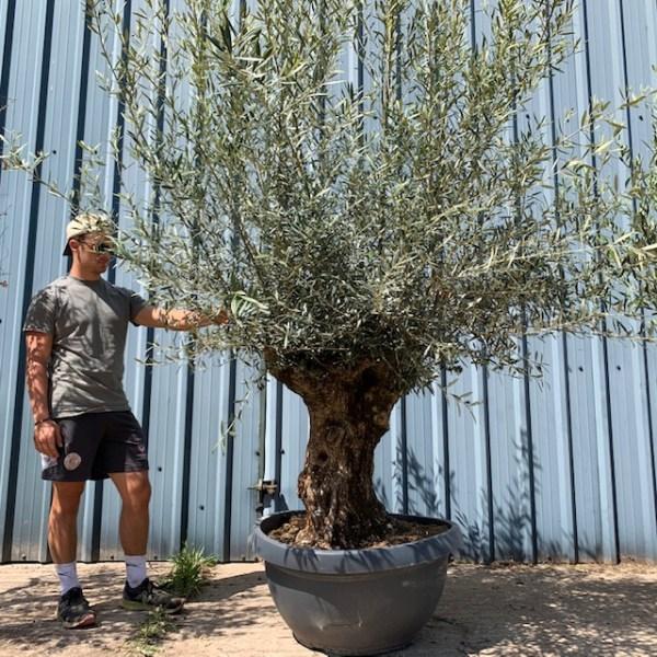 Olive Tree Cloud pruned Specimen L589