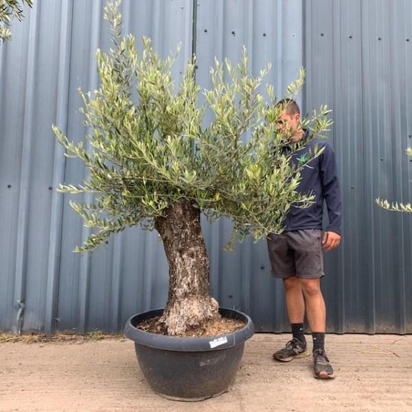 Olive Tree Specimen L573