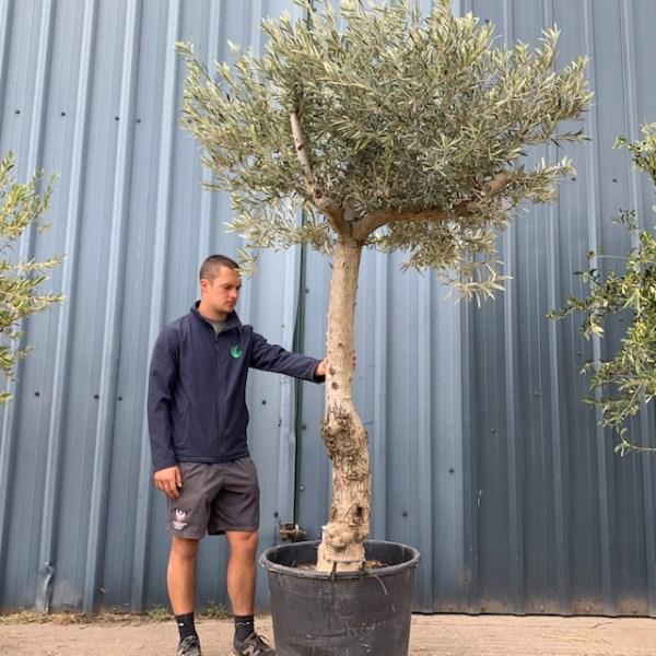 Olive Tree Specimen L574