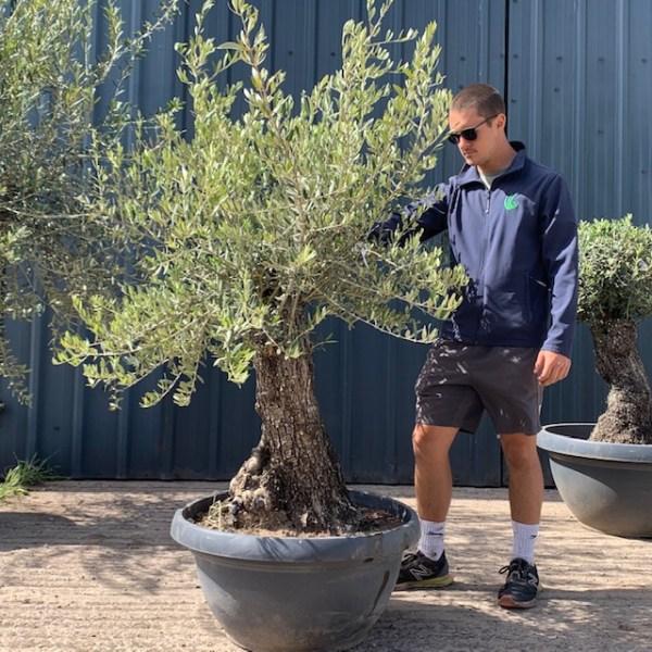 Olive Tree Specimen L619