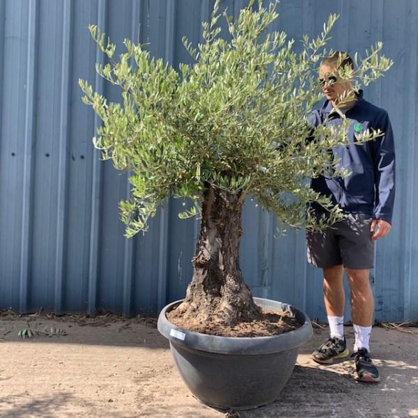 Olive Tree Specimen L634