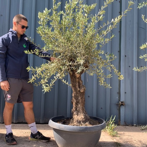 Olive Tree Specimen L639