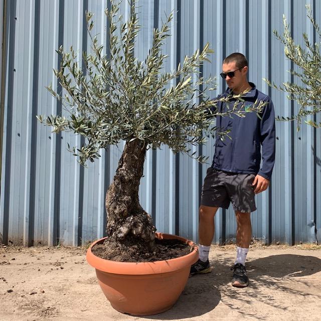 Olive Tree Specimen L72