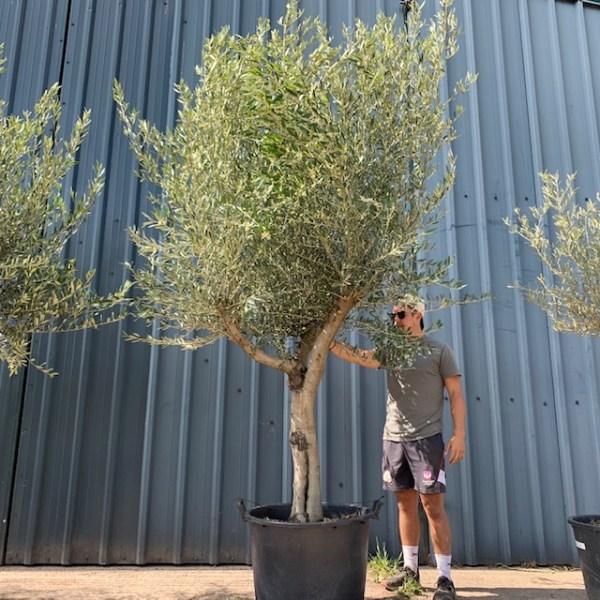 Olive Tree Specimen L730