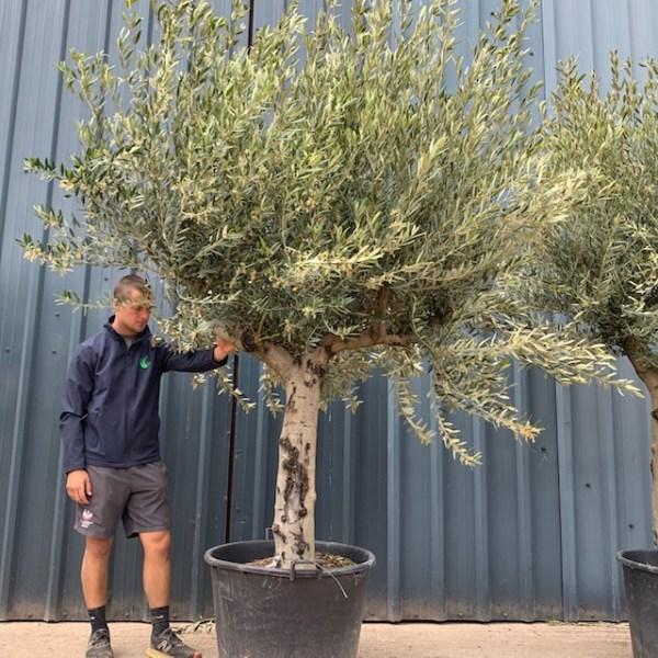 Olive Tree Specimen L781
