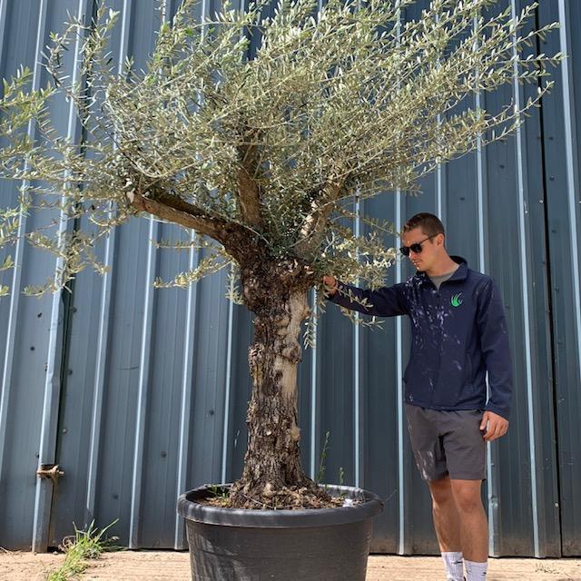 Olive Tree Specimen L8