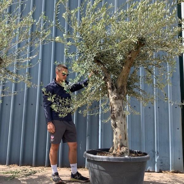 Olive Tree Specimen L822
