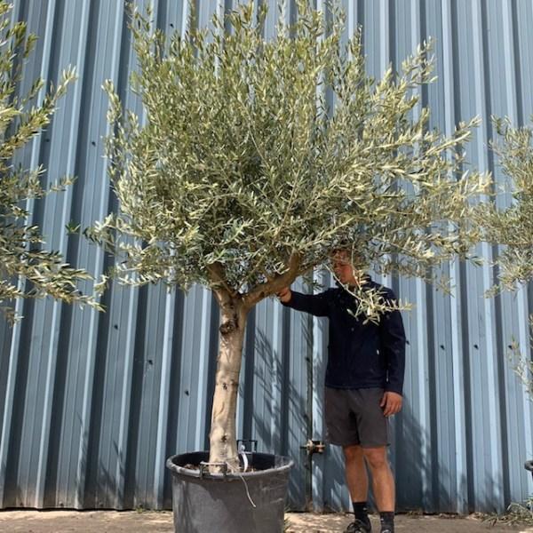 Olive Tree Specimen L851