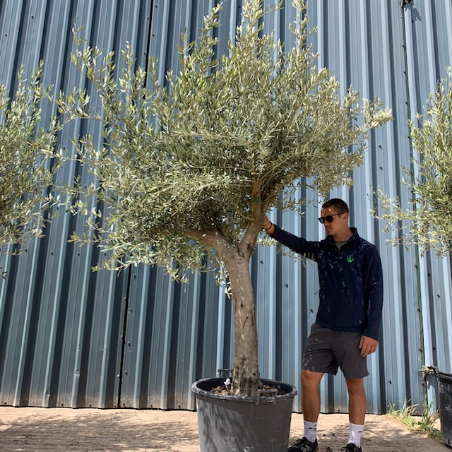 Olive Tree Specimen L865