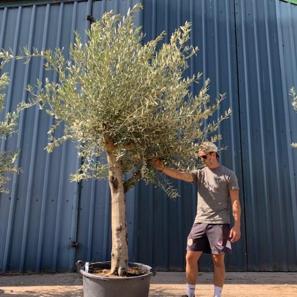 Olive Tree Specimen L875