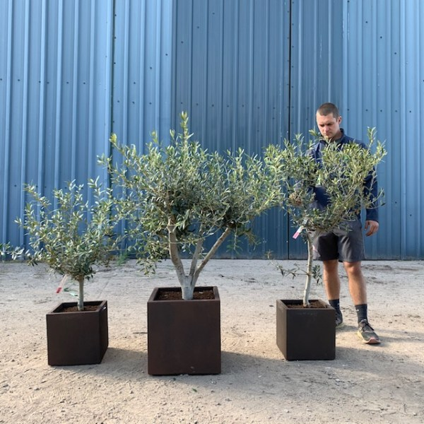 Olive Tree Collection V31