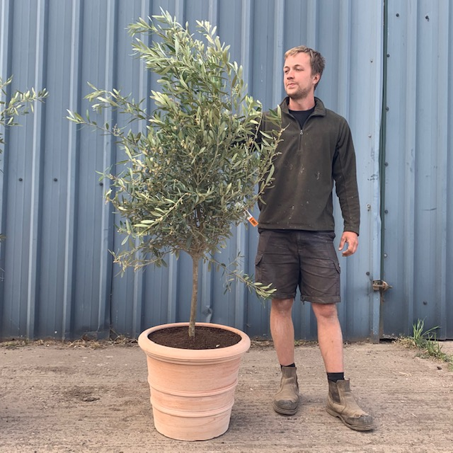 Olive Tree Potted in Tuscan Terracotta W